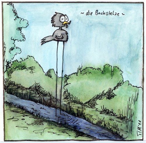 Cartoon: Die Bachstelze (medium) by timfuzius tagged vogel,bachstelze,natur,bach,wurm
