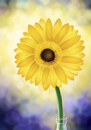 Cartoon: Sunflower (small) by alesza tagged sonnenblume,sunflower,digital,art,painting