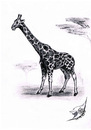 Cartoon: Giraffa camelopardalis (small) by swenson tagged giraffe tier animal africa afrika animals tiere