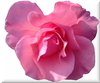 Cartoon: pink rose (small) by lesemaus tagged pink,rose